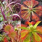 Exotic Plants Drosera mix - plantas carnivoras - 30 semillas