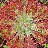 Drosera spathulata - planta carnívora - 10 semillas