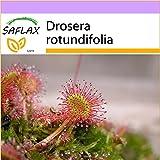 SAFLAX - Rocío de Sol de hojas redondeadas - 50 semillas - Drosera rotundifolia
