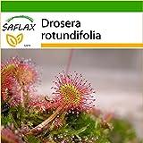 SAFLAX - Rocío de Sol de hojas redondeadas - 50 semillas - Con sustrato - Drosera rotundifolia