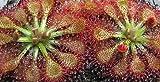 Drosera capillaris Pasco Co. - plantas carnivoras - 15 semillas