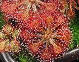 Drosera cistiflora mauve - plantas carnivoras - 10 semillas